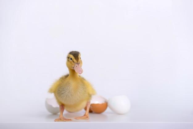 Piccolo guscio d'anatroccolo e uova