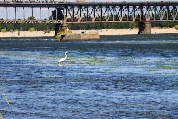 Garzetta o airone bianco (egretta garzetta) sul fiume dnieper