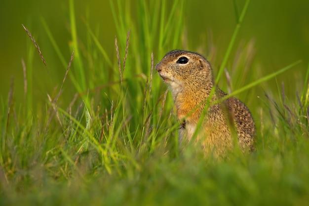Piccolo scoiattolo a terra europeo che si siede nell'erba durante l'estate.