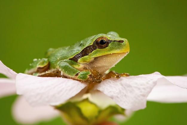 Piccola rana di albero europea che si siede in capolino in natura di estate