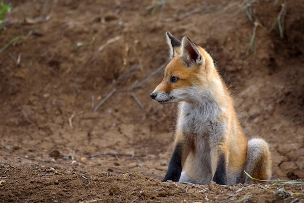 La piccola volpe si siede vicino al suo buco.