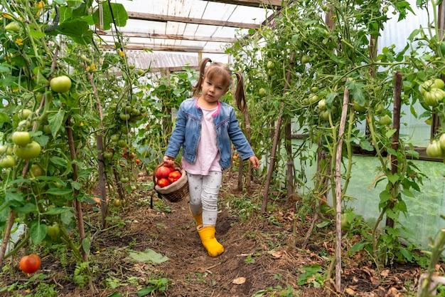 La bambina porta un cesto di pomodori maturi in una serra
