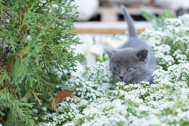 Piccolo gattino grigio in giardino. gatto e erba verde e alyssum fiore.