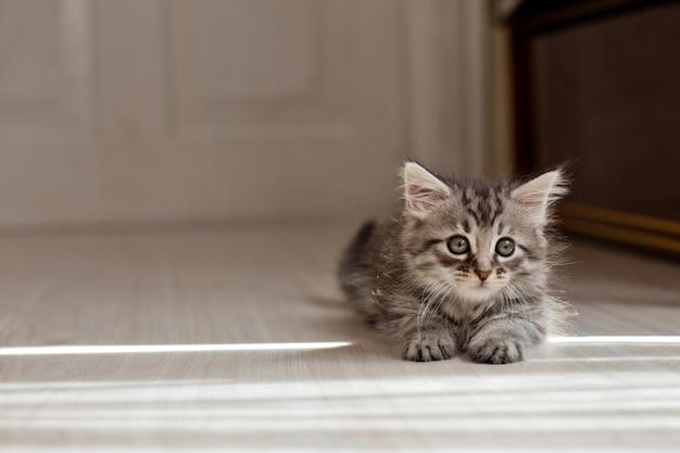 Piccolo gattino grigio che si trova sul pavimento sotto i raggi del sole