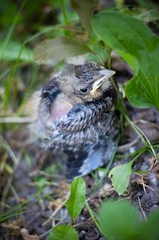 Piccolo grigio annidato nell'erba verde, caduto dal nido, principiante solitario.