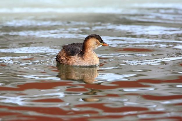 Tuffetto nel piumaggio invernale galleggia in insolite acque rosse