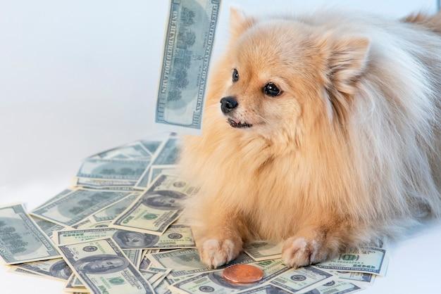 Piccolo cane avido e contanti, cucciolo di spitz di pomerania sdraiato su soldi, banconote, banconote da cento dollari usa e moneta d'oro. risparmio, concetto di investimenti. avidità di denaro, commercialismo.