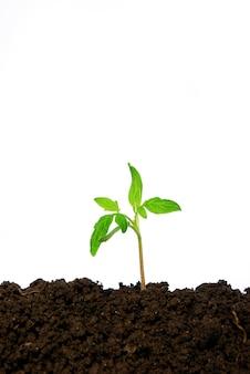 Piccola pianta verde