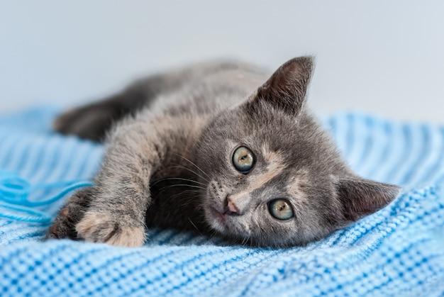 Il piccolo gattino grigio giace su un tessuto a maglia blu e guarda dritto verso la telecamera