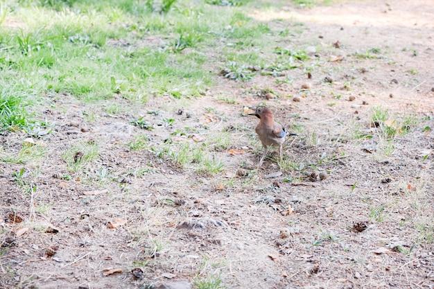 Piccolo jaybird in cerca di cibo