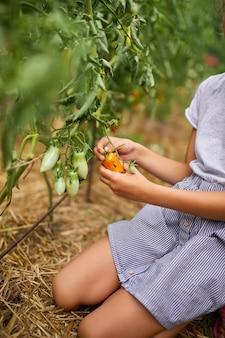 Ragazzina che raccoglie, raccoglie il raccolto di pomodori rossi biologici a casa giardinaggio