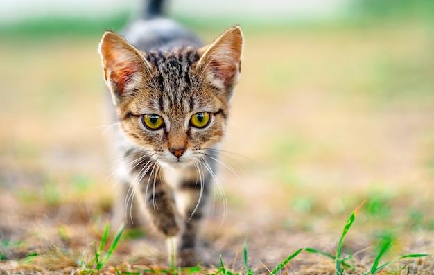Gattino che cammina