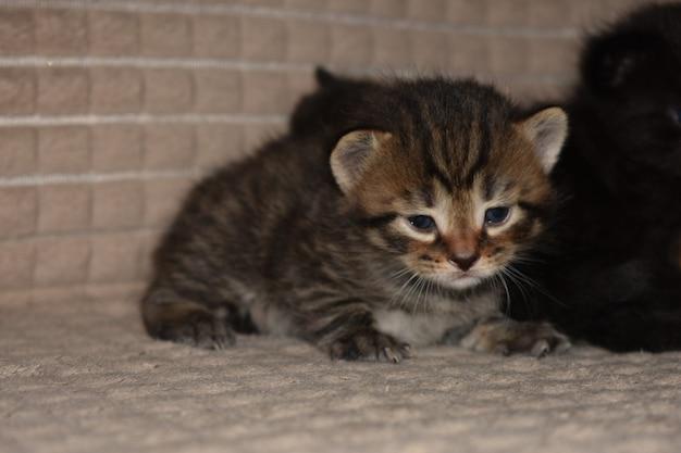 I gattini giocano sul divano