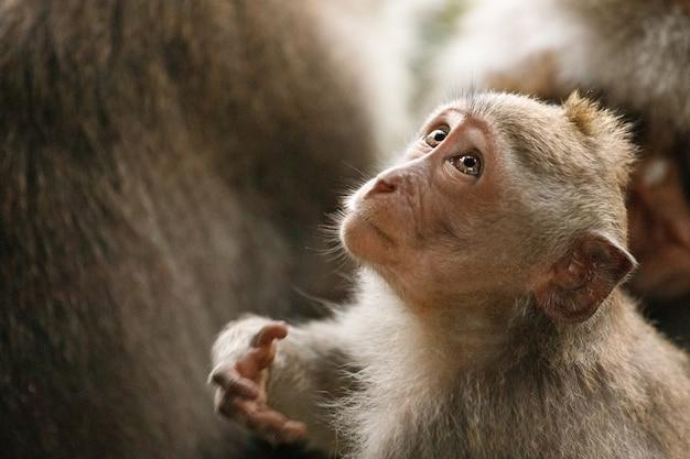 La piccola scimmia guarda in alto. sacra foresta delle scimmie, ubud, indonesia