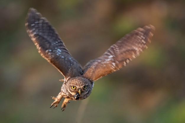 Il piccolo gufo athene noctua sta volando con la preda.