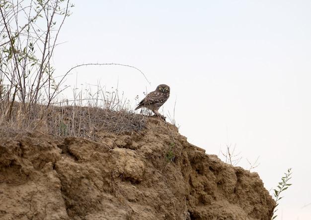 Un piccolo gufo siede su un ripido pendio di una montagna di terra contro il cielo