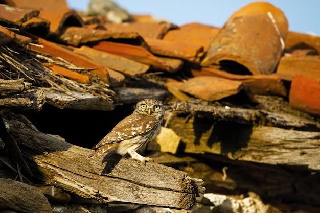 Civetta seduta su un tetto travi della vecchia fattoria.