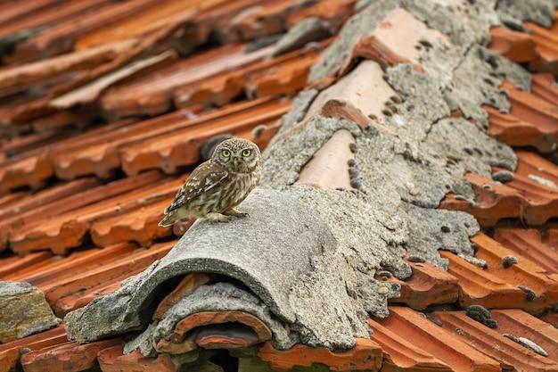 Civetta che si siede sul tetto con le mattonelle rosse sulla campagna.