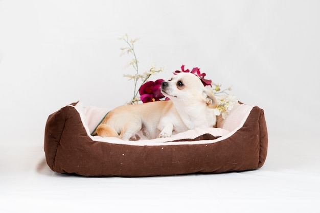 Piccolo cane con pedigree a letto