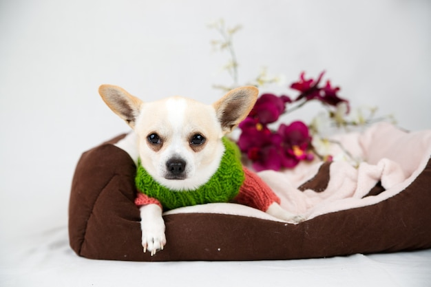 Piccolo cane con pedigree su bianco