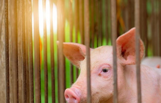 Maialino in fattoria. piccolo maialino rosa