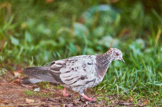 Piccolo piccione in cerca di cibo