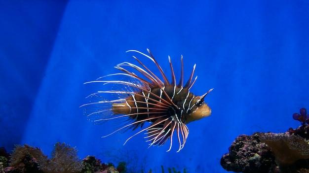 Piccoli pesci spinosi nuotano nell'acquario