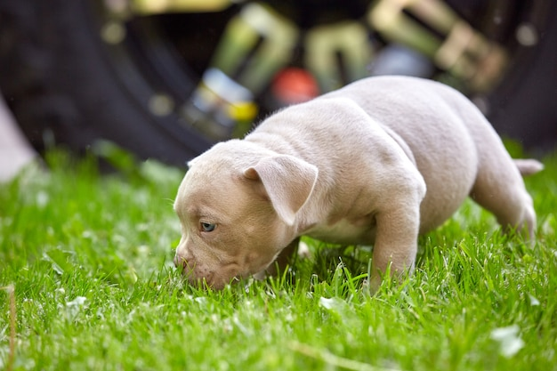 Piccoli cuccioli di bulli americani sull'erba.