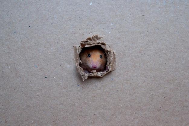Il piccolo ratto ha rosicchiato un buco nella scatola
