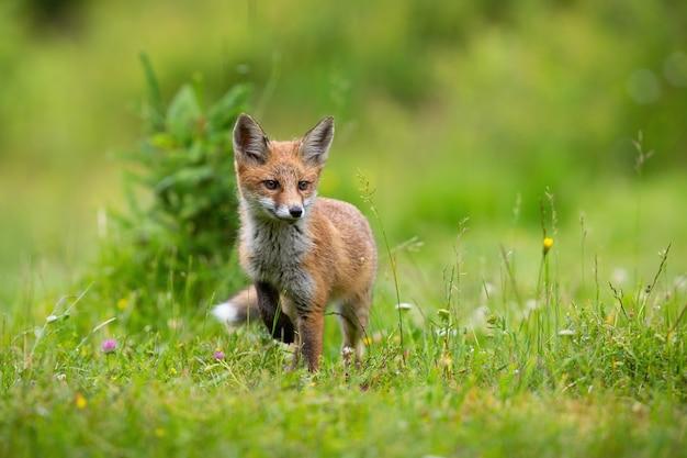 Piccolo cucciolo di volpe rossa che cammina sulla radura fiorita in estate