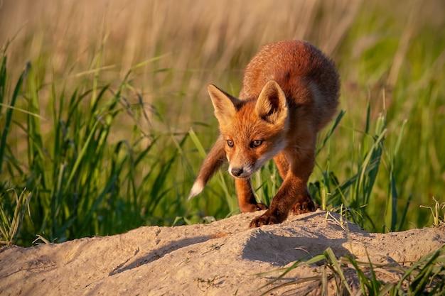 Piccolo cucciolo di volpe rossa che cammina in avanti vicino alla tana nella natura primaverile al tramonto.