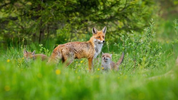 Piccoli cuccioli di volpe rossa che bighellonano la loro madre protettiva sul prato verde