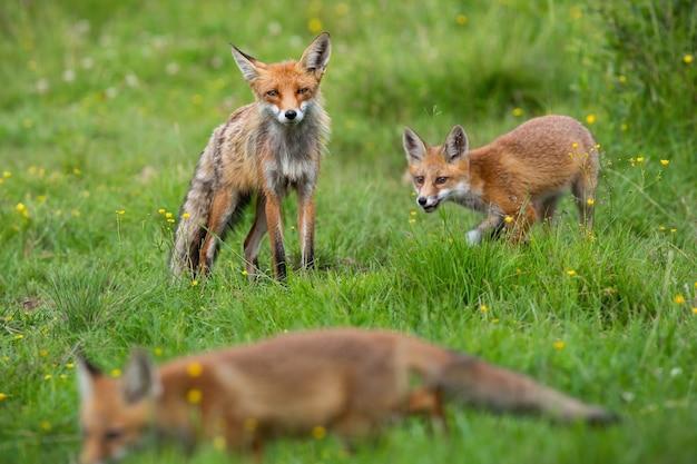 Piccola volpe rossa con la madre che gioca sulla radura del fiore