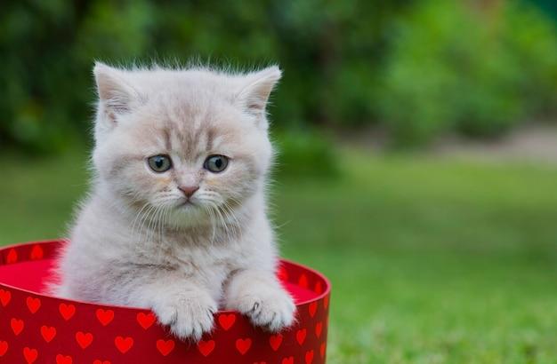 Il piccolo gattino a strisce britannico si siede in una scatola di cuori rossi su un prato verde