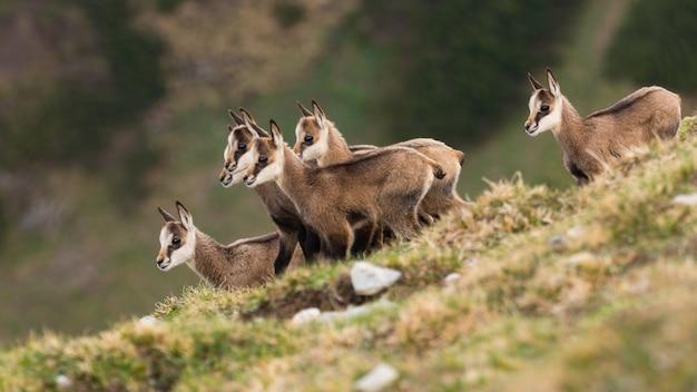 Piccoli bambini di camoscio di tatra che stanno nelle montagne in primavera