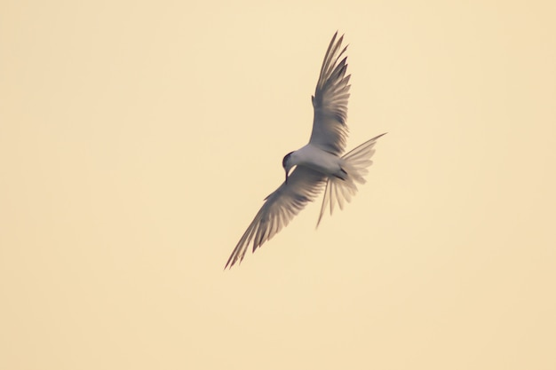 La piccola sterna sta volando, la piccola sterna è un piccolo uccello marino. , nome scientifico sternula albifrons, la piccola sterna è una specie di uccelli marini.