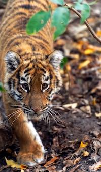 Piccolo cucciolo di tigre allo stato brado