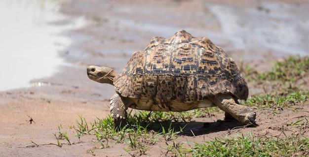 Una piccola tartaruga sta camminando per strada