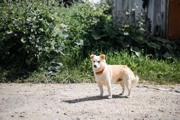 Piccolo cane bianco sulla strada. cane con collare rosso che guarda al lato