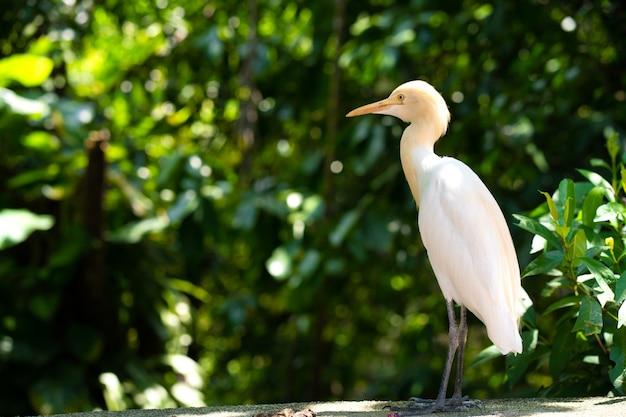 Airone bianco piccolo con una testa gialla in un parco verde. osservazione uccelli