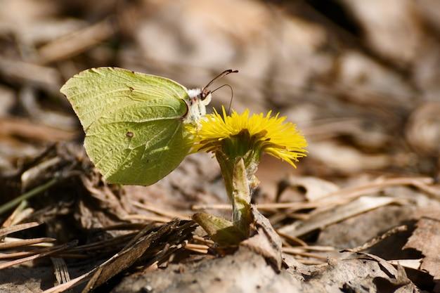 Piccola farfalla gialla sul fiore giallo