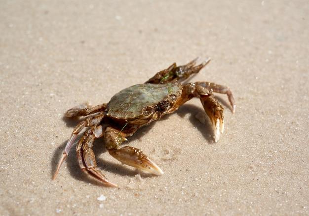 Granchio vivo sulla riva sabbiosa del mar nero