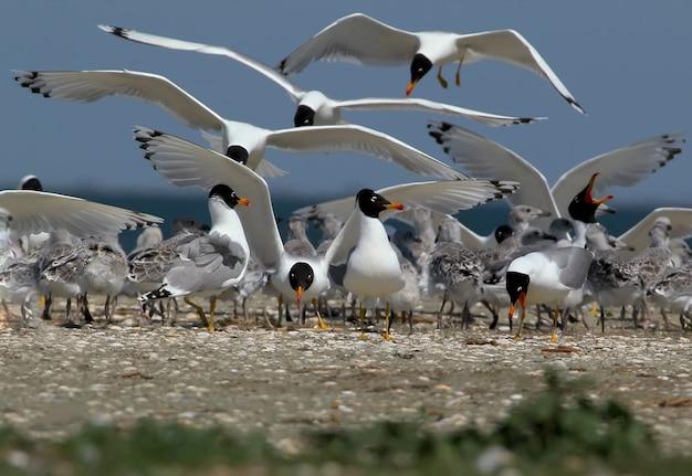 Vivi nella colonia di gabbiani di a palla. uccelli adulti e loro pulcini
