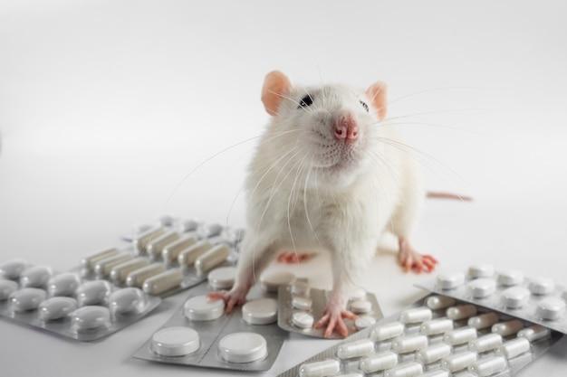 Un topo sperimentale di laboratorio bianco vivo si siede sulle pillole.