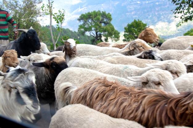 Bestiame, gregge di pecore che cammina per strada