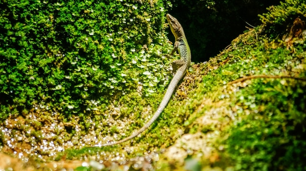 Lucertola che si crogiola sulla roccia ricoperta di muschi e licheni sotto il sole