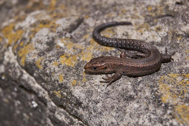 Lizard riscaldamento su una pietra calda.