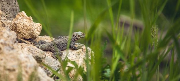 La lucertola su una pietra sullo sfondo di erba
