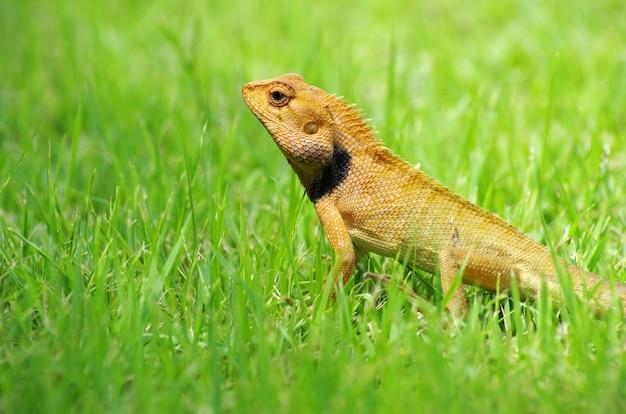 Lucertola che passeggia nell'erba