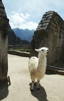 Lama nella prateria nella città perduta machu-picchu